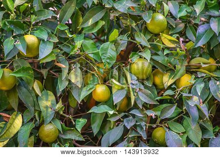 ripe grapefruit at tree