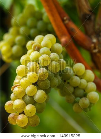Ripening Grapes On The Vine