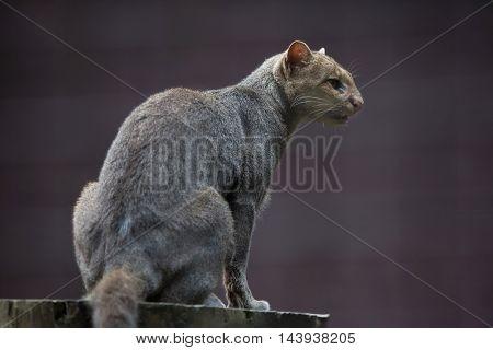 Jaguarundi (Puma yagouaroundi), also known as the eyra cat. Wildlife animal.