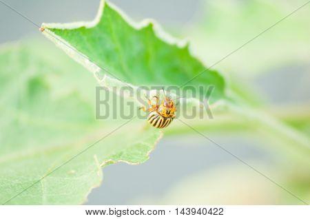 Close-up Of Colorado Bug On A Leaf