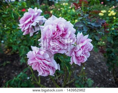 Close up of violet rose: Mainzer Fastnacht Blue Moon Sissy Blue Girl Blue Monday