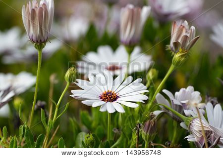 African daisy, white flower nature. Osteospermum with leaves in garden. Campanula