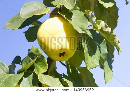 Juicy raw ripe quince fruit on tree, organicity. Nature, gardening