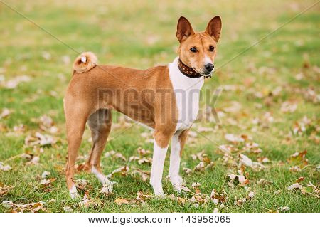 Basenji Dog On Autumn Grass Outdoor. Basenji Kongo Terrier Dog. The Basenji Is A Breed Of Hunting Dog