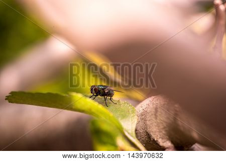Housefly Musca domestica sunning on a green leaf in a close up macro view