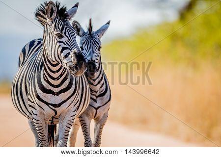 Two Zebras Bonding In The Kruger.