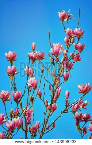 Pink Magnolia Flowers against the Blue Sky