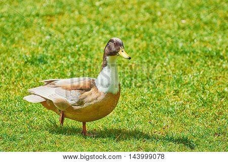 Wild Duck Walking by the Green Grass