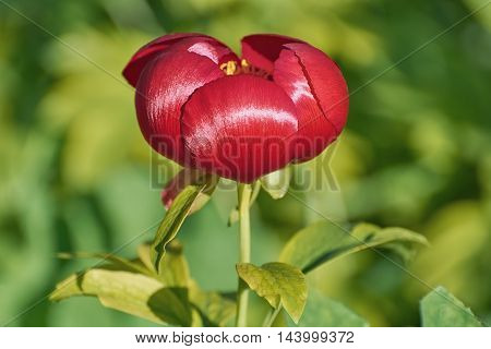 Red Peony Flower over the Green Background