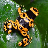 Poison dart frog  is the common name of a group of frogs in the family Dendrobatidae poster