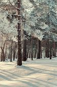 Frosty winter trees under bright winter sunlight in winter forest. Winter forest landscape with winter frosty trees in winter sunset - colorful winter forest view. Sunset view of winter forest nature. poster