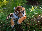 bengal tiger relaxing in the grass while grooming. but definitely keeping an eye on me. poster