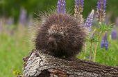 Porcupine (Erethizon dorsatum) Looks Left Atop Log - captive animal poster
