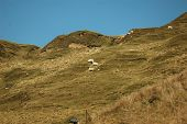 Wild farming at it's best the sheep are on a steep cliff side grazing quite happily in the spring sunshine. poster