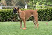 Boxer dog running on grass playing fetch poster
