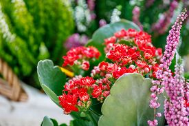 Red kalanchoe and pink calluna flowers outdoors