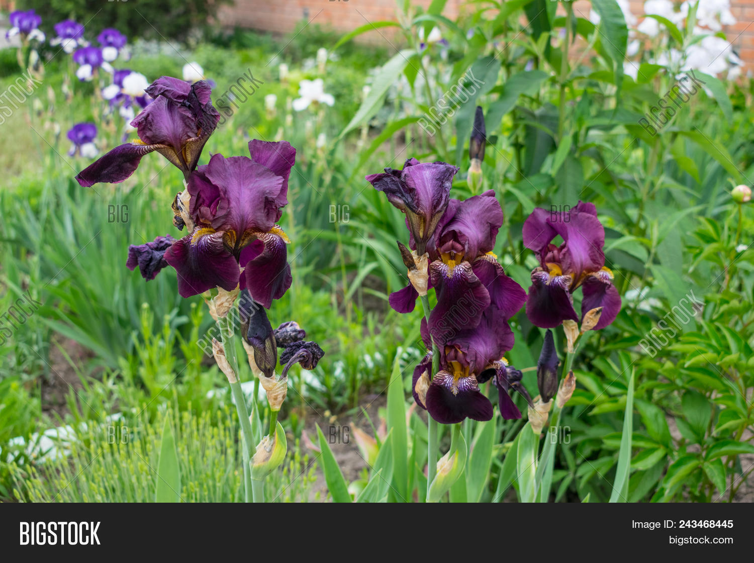 Close view iris image photo free trial bigstock close up view of an iris flower on background of green leaves and flower beds izmirmasajfo