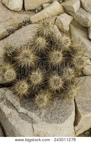Teddy Bear Cholla Growing Among A Group Of Rocks In The California Desert.