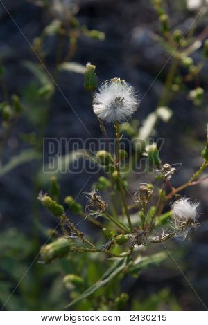 Spiny Sow Thistle Seedheads