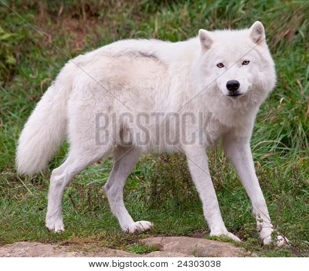 Arctic Wolf Posing and Looking at the Camera