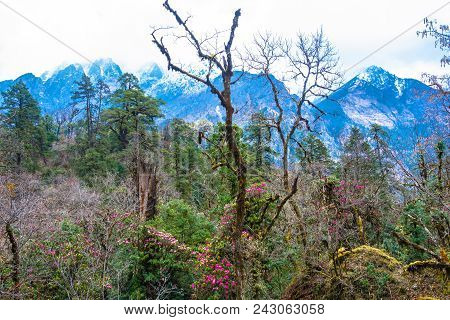 The Scenery Of Rhododendron Forest, Nepal.