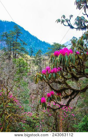 Bright Flowering Rhododendron Tree On A Mountain Background On A Spring Day, Nepal.