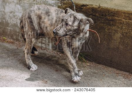 Cute Little Grey Puppy Walking With Collar In City Street. Scared Sweet Doggy With Sad Eyes, Waiting