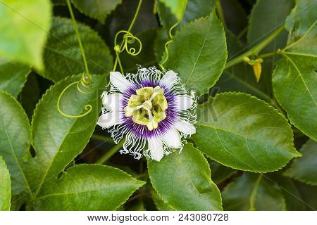 White With Purple Flower Passiflora Edulis. Passion Flowers Or Passion Vines, Top View