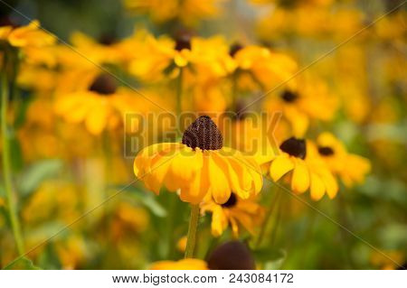 Daisy Flowers With Yellow Blossom On Natural Background. Flowers Blossoming In Summer Garden. Blosso