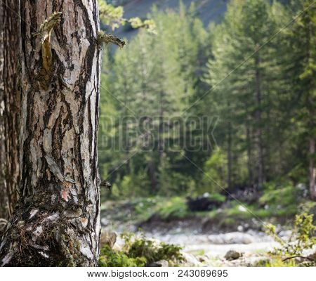 Tree trunk with crust detail, moss at bottom. Blurred forest, nature and river background. Space for text, close up view.