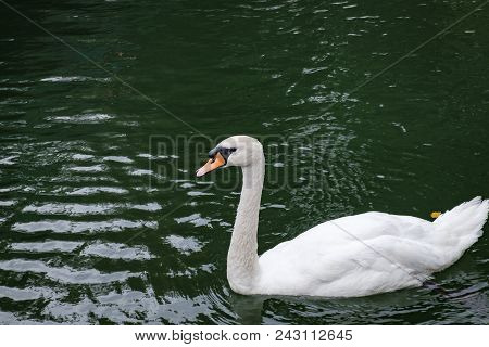 One White Swan On Lake Green Water In The Wild. Beautiful Graceful Swan Swimming In A Pond