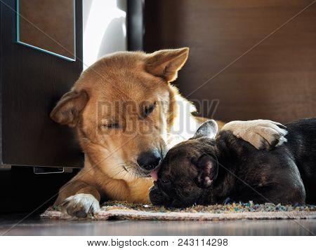 Huge dog affectionately hugs and licks little dog poster
