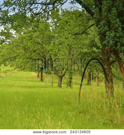 Rural Orchard With Long Grass. Country And Rural Concept