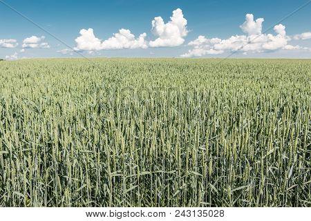 Green Grain On A Big German Grain Field