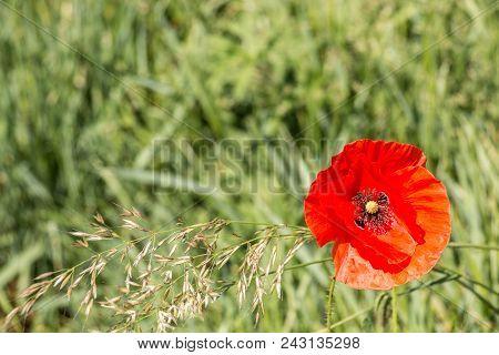 Red Poppy On A German Grain Field