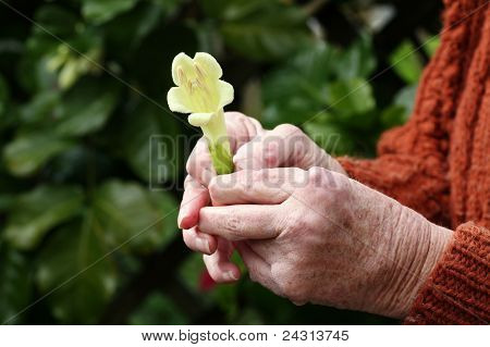 Arthritic hands holding a flower