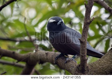 The White Browed Wood Swallow Is Perched In A Tree