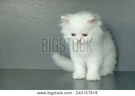 Adorable Pure White With Odd Different Blue And Green Eyes Persian Cat Sitting On The Floor With Fee