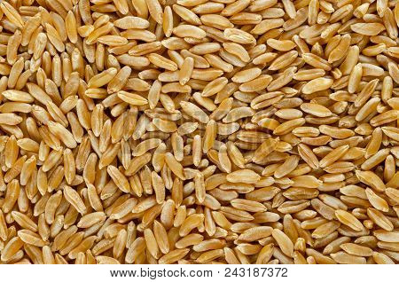 Kamut Khorasan Wheat Surface From Above. Background. Grains Of Oriental Wheat, Triticum Turanicum. A
