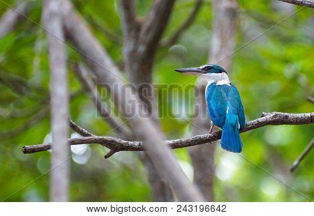 Collared Kingfisher, White-collared Kingfisher, Mangrove Kingfisher (todiramphus Chloris)