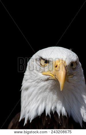 American Psycho. Bald Eagle National Bird Of Usa Looking Crazy With Cross Eyes. Cross-eyed Bird Of P