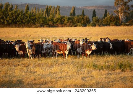 Beef Cattle In Pasture At Sunset