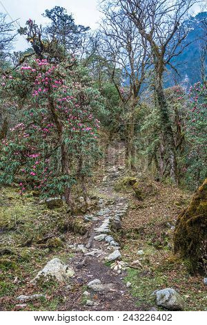 Mountain Trail In Rhododendron Forest In Nepal.
