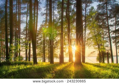 Amazing Landscape Of Sunny Summer Forest At Sunset. Sun Rays Through Trunks Of Trees. Grass Glowin O