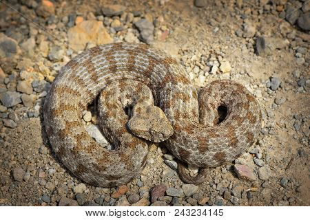 Rarest European Viper In Milos Island, A Snake Listed As Endangered On Iucn Red List ( Macrovipera L
