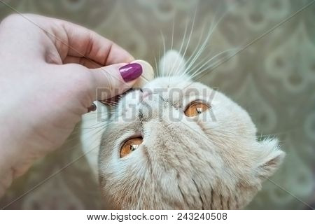 Scottish Fold Cat With Gold Eyes Takes A Pill Close Up. A Female Hand Gives A Cat A Round Big Pill.