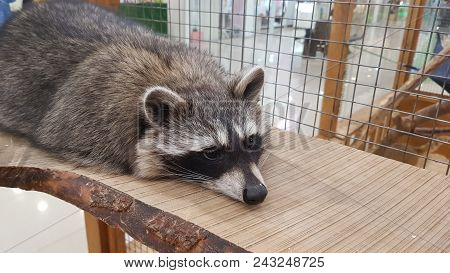 Cute But Sad Raccoon In Cage. Animal In Zoo. Fur Raccoon Face Portrait. Wild Animal Melancholy