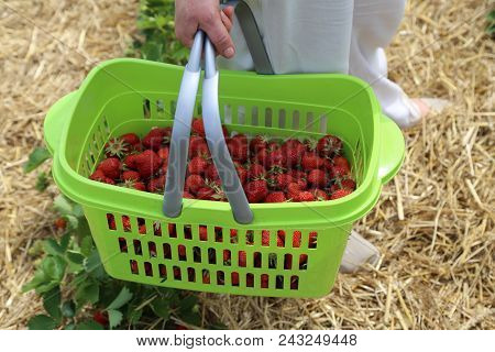 Strawberries / Freshly Picked Strawberries / Strawberries / Freshly Picked Strawberries