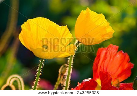 Pop On By: Yellow And Red Poppy Flowers Growing In The Cities Of France, Troyes, Burgundy, France