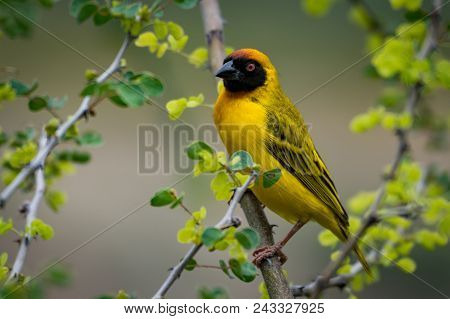 Masked Weaver Bird On Branch Facing Camera